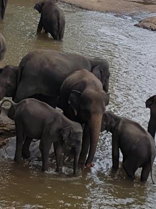elephants at orphanage 2017 - 2